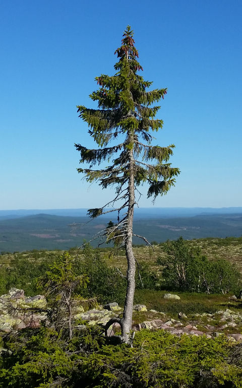 Old Tjikko − Der älteste Baum der Welt